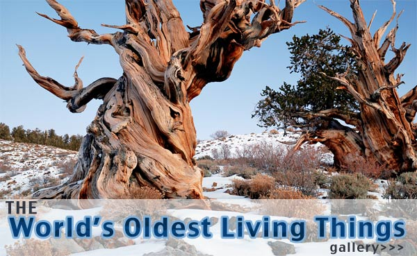 worlds oldest living things