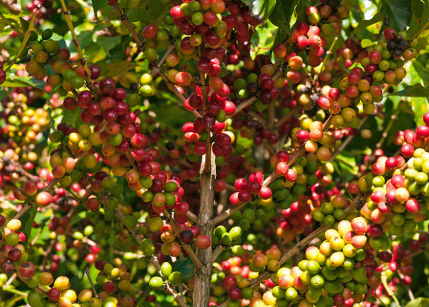 Coffee is grown in the rainforest