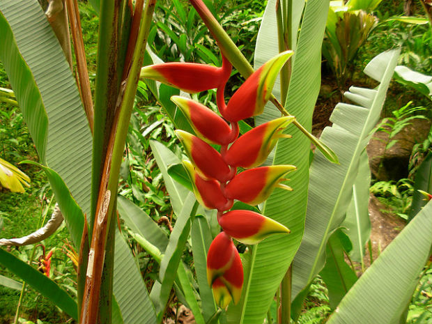 Heliconia's are grown in the rainforest and related to bananas