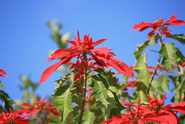 Poinsettias popular during Christmas are grown in the rainforest