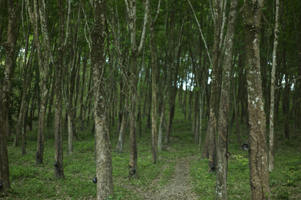 Rubber trees are grown in the rainforest and produce rubber