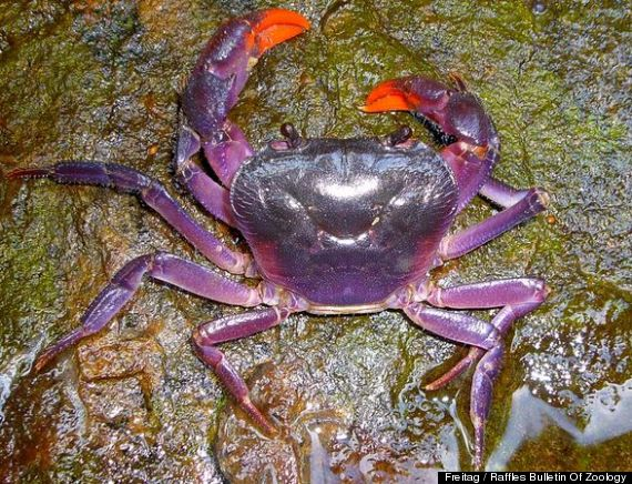 purple crab found in philippines