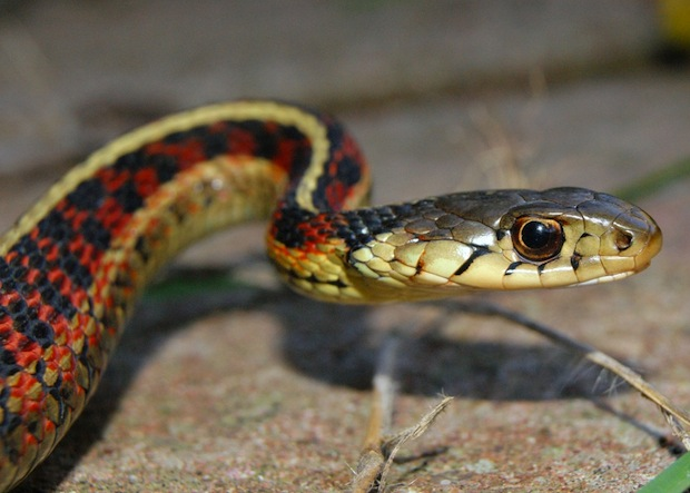 "The female red-sided garter snake mates in an orgy, which forms a large ""snake ball."""