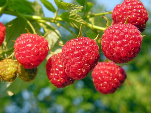 how to make raspberry tea