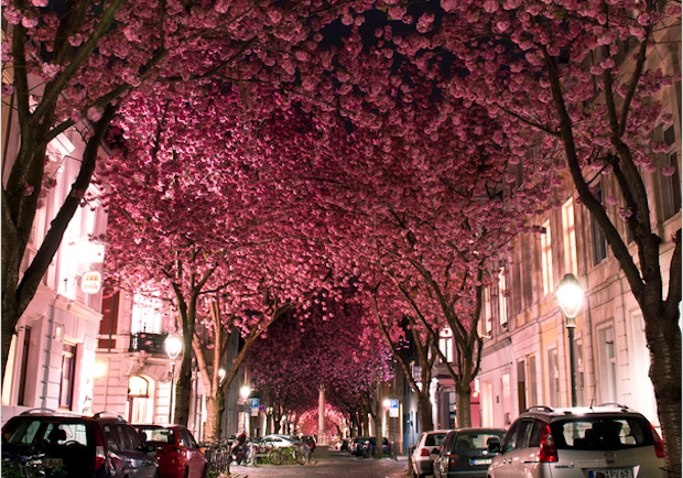 The cherry blossom trees lining the Heerstraße street in Bonn, Germany only bloom for 7-10 days.