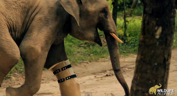 As a baby, Chhouk lost part of his right front leg after being trapped in a poacher's snare.