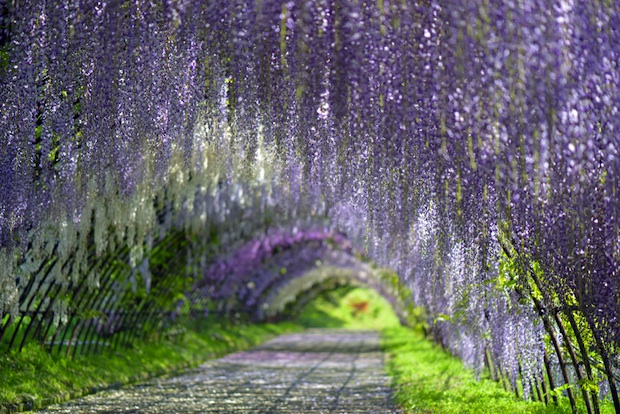 14 incredible 39 living tunnels 39 around the world ecorazzi Wisteria flower tunnel path in japan