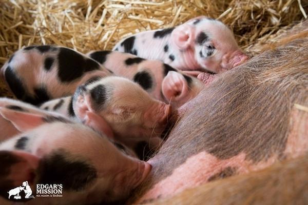 rescued pigs