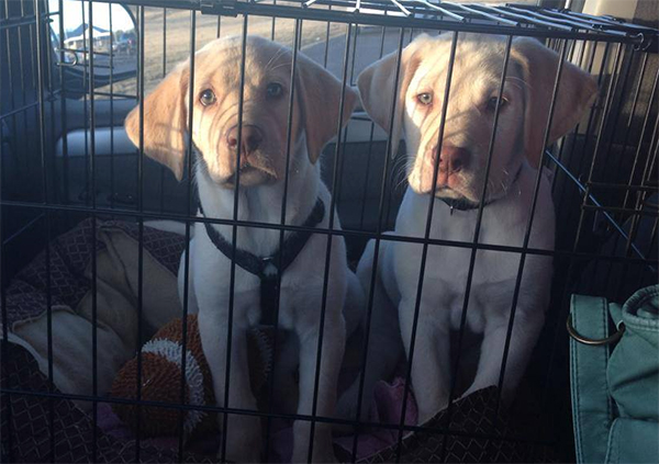 "The two rescue pups used for a Budweiser Super Bowl commercial that has yet to be leaked. These are NOT the stars of the ""Puppy Love"" commercial. Photo credit: Southern Paws Rescue"