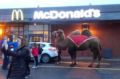 camel-at-mcdonalds